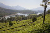 Tea Plantation Near the Mattupetty Reservoir  Kerala  India  Asia