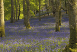 Bluebells in Carstramon Wood  Dumfries and Galloway  Scotland  United Kingdom  Europe