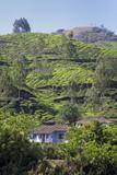 Tea Plantation in the Mountains of Munnar  Kerala  India  Asia