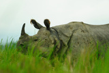 One Horned Rhinoceros in Kaziranga National Park  Assam  India  Asia