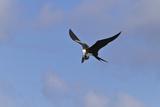 Juvenile Magnificent Frigatebird Attacking an Elliot's Storm Petrel  San Cristobal Island  Ecuador