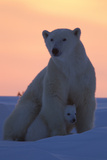 Polar Bear (Ursus Maritimus) and Cub  Wapusk National Park  Churchill  Hudson Bay  Manitoba  Canada