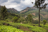 Tea Plantations in the Mountains of Munnar  Kerala  India  Asia