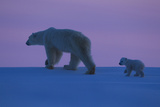 Polar Bear (Ursus Maritimus) and Cub  Wapusk National Park  Churchill  Hudson Bay  Manitoba  Canada