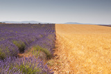Lavender and Wheat Growing Side by Side on the Plateau de Valensole in Provence  France  Europe