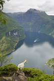 Goats Overlooking Geirangerfjorden  Near Geiranger  UNESCO Site  More Og Romsdal  Norway