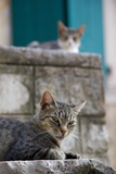 Cats in the Old Town  Kotor  Montenegro  Europe