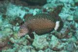 Rockmover Wrasse (Novaculichthys Taeniourus)  Southern Thailand  Andaman Sea  Indian Ocean  Asia