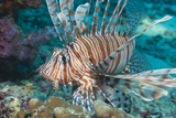 Scorpionfish (Common Lionfish) (Pterois Miles)  Southern Thailand  Andaman Sea  Indian Ocean  Asia