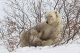 Polar Bear Nursing Cub (Ursus Maritimus)   Wapusk Nat'l Pk  Churchill  Hudson Bay  Manitoba  Canada