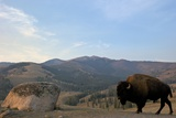 Bison and Mount Washburn in Early Morning Light  Yellowstone Nat'l Park  UNESCO Site  Wyoming  USA
