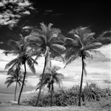 Coconut Trees  Santa Maria Beach  Havana  Cuba