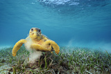A Loggerhead Turtle Grazes on Sea Grass