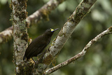 A Short Tailed Paradigalla Perches on a Tree Branch