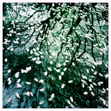 Cherry and Pear Tree Petals and Reflections on the Hood of a Car