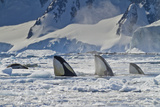 Three Killer Whales Hunt a Leopard Seal on Pack Ice