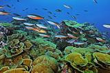 A School of Bluestreak Fusilier Fish Swim over Regrown Coral