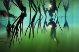 A diver inspects the arched roots of mangroves