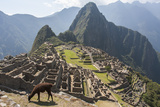 A Llama Grazing on the Grounds of Machu Picchu  an Ancient Inca City