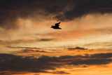 A Seagull in Flight in a Golden Sky at Sunset