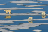 A Polar Bear and Her Cubs Walk Along Sparse Pack Ice