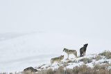 Three Gray Wolves on a Snowy Hill