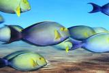 Yellowfin Surgeonfish Crowd the Water at Nikumaroro