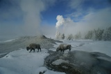 Bison Walking in Front of Lion Geyser in Deep Winter
