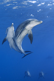 A Pair of Indo-Pacific Bottlenose Dolphins