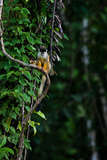 A Squirrel Monkey on a Vine