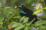 An Adult Male Paradise Riflebird Feeds at a Fruiting Dysoxylum Tree