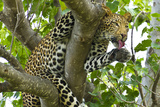 A Leopard Licks its Paws While Hanging from a Tree Branch