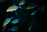 A School of Jackfish
