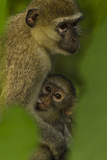 A Young Vervet Monkey Nurses with it's Mother