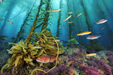 A sheephead and wrasses swim through a forest of coralline algae