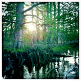 Cypress Tree and Roots on the Chickahominy River