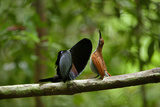 A Male Magnificent Riflebird Shape Shifts to Impress a Potential Mate