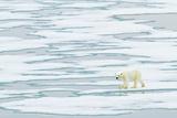 A Polar Bear Walks on Pack Ice