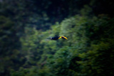 A Flying Chestnut Mandibled Toucan