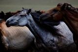 Horses Gallop across the Mongolian Steppe