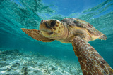 A Loggerhead Turtle Swims in Hol Chan Marine Reserve Papier Photo par Brian J. Skerry