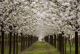Bright Rows of Blossoming Pear Trees Line a Nursery in Spring Papier Photo par Stephen St. John