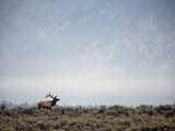 Large Bull Elk Bugling During the Rut in Grand Teton National Park