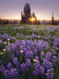 Sunrise in Mt Rainier National Park During Wildflower Season
