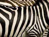 A Pattern of Stripes on a Burchell's Zebra  Kenya