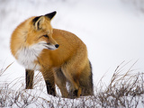 Red Fox Looking Back