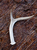 Detail of an Antler on a Rock Found on the Mountain Side of Davis Mountain Preserve  Texas