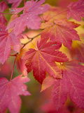 Image of Maple Tree in Fall