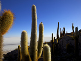 Cacti on Isla De Los Pescadores  Salar De Uyuni Southwest Highlands Bolivia South America
