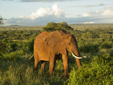 A Wild African Elephant Grazing at Sunset at Tarangire National Park in Tanzania